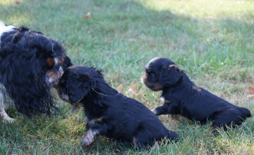 Devon puppies 7 weeks old.